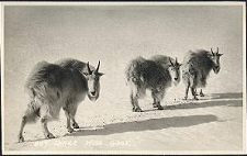 807(a). Three Wise Goat.