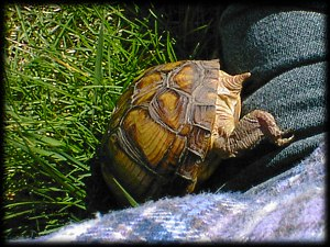 Be, the Box Turtle...April 2000