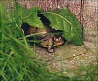 Be, the Box Turtle